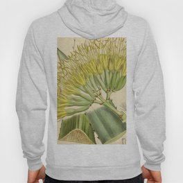 Agave fourcroydes, Asparagaceae, Agavoideae Hoody