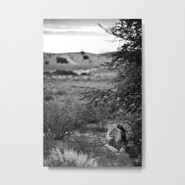 Male Lion, Kgalagadi, South Africa Metal Print