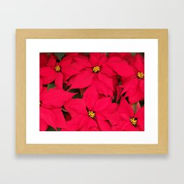 Brightly Colored Red Poinsettias Framed Art Print