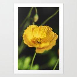 Yellow Poppy Flower Art Print