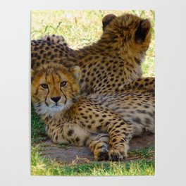 Cheetah Pair Poster
