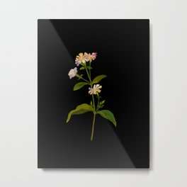 Saponaria Officinalis Mary Delany British Botanical Floral Art Paper Flowers Black Background Metal Print