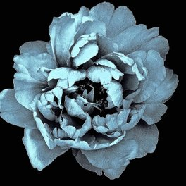 Art Print - Blue Peony, Under The Floral Spell - Alexandra Tarasoff