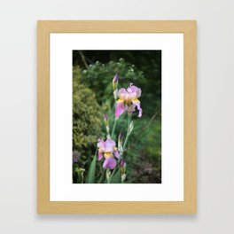 Purple and Yellow Bearded Iris Flowers Blooming in a Spring Garden 5 Framed Art Print