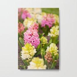 Hyacinthus blooming pink and white Metal Print