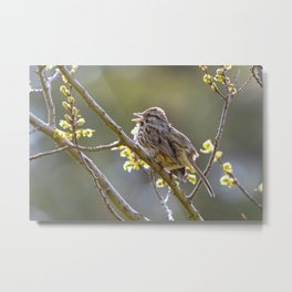 Song Sparrow Metal Print