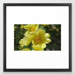 Yellow Damask Rose Framed Art Print