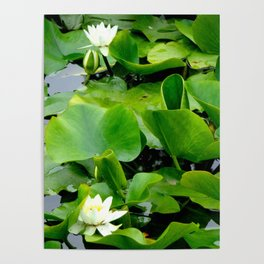 Waterlily #2 Poster
