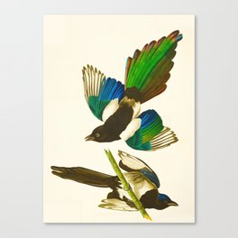 Magpie Vintage Scientific Bird Illustration Canvas Print