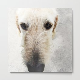 Love Labradoodles. Metal Print