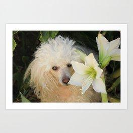 Poodle dog and Amaryllis Art Print