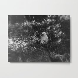 Black and White photo of African White Baboon Metal Print