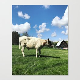 Tethered Cow Canvas Print