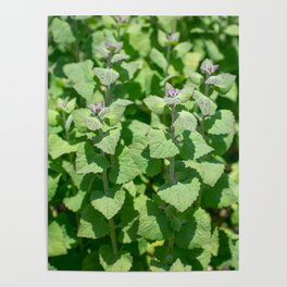 Ivy Leaves Poster