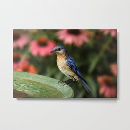 Perched Eastern  BlueBird Metal Print