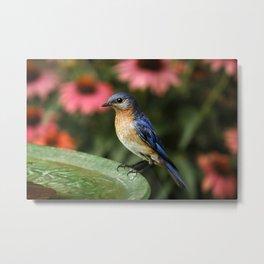 Perched Eastern  BlueBird Metal Print