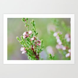 Heather flower Art Print