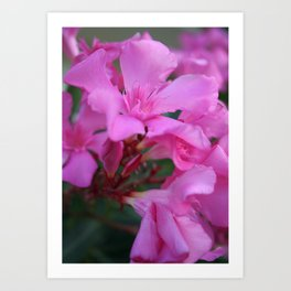 Pink Oleander Flower  Art Print