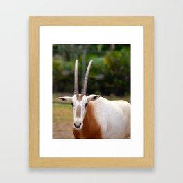 Scimitar Horned Oryx Looking at Me Framed Art Print