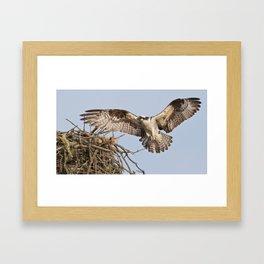 Osprey II Framed Art Print