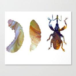 Boll Weevil Canvas Print