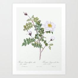Double White Burnet Rose, also known as Pimple Rose with White Flowers (Rosa Pimpinellifolia Alba Fl Art Print