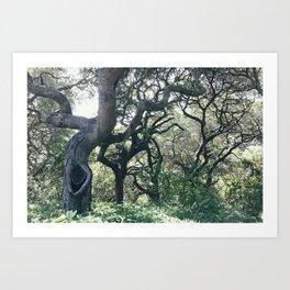 Oak Groves Art Print