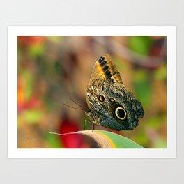 Butterfly - Caligo memnon Art Print