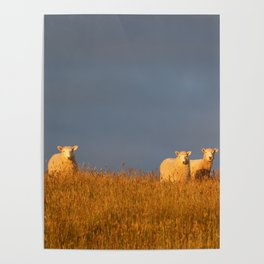 Three Little Sheep Poster
