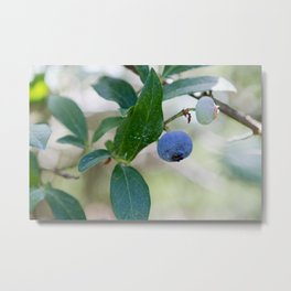 Blueberry Farm 2 Metal Print