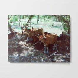 Gili Cows Metal Print
