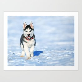 Siberian Husky pup Art Print