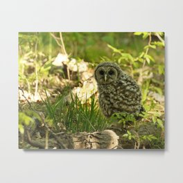 Baby barred owl first time on earth Metal Print