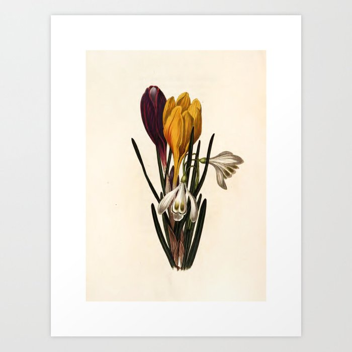 """Snow-drop and crocus from """"The Moral of Flowers"""" (1833) by Rebecca Hey Art Print"""