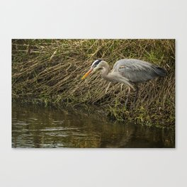 Great Blue Heron By the Water's Edge Canvas Print