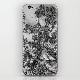 The old eucalyptus tree iPhone Skin