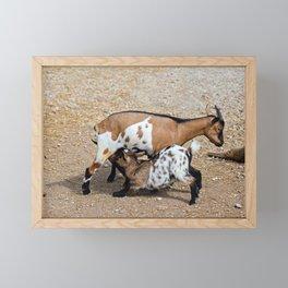 Goat feeds her goatlings, outdoor shooting in good weather Framed Mini Art Print