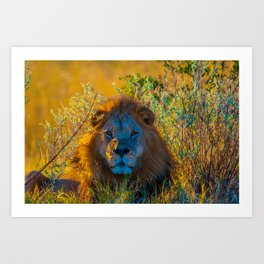 Lion in the Sage Art Print