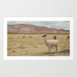 Lama Pampa bolivie Art Print