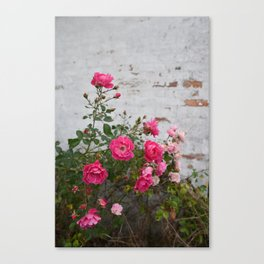 pink roses and old wall Canvas Print