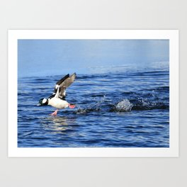 bufflehead takeoff Art Print
