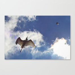 Egrets soaring against blue sky Canvas Print
