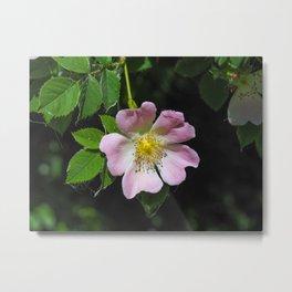 Dog Rose (Rosa canina) Metal Print