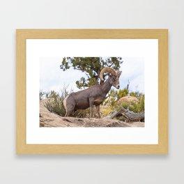 Beautiful Big Horn Sheep Framed Art Print