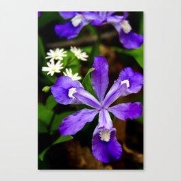 Dwarf Iris Botanical Art, Fine Art Print, Purple Flower Canvas Print