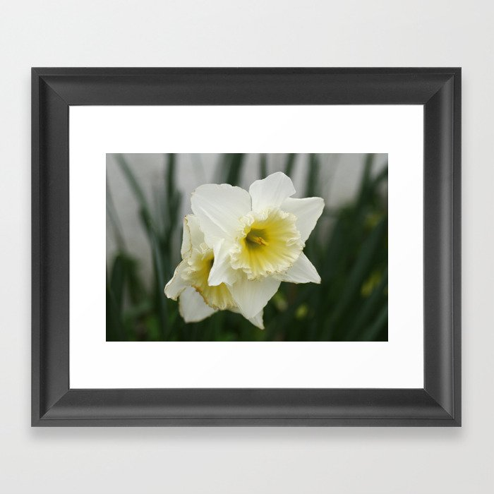 White And Yellow Daffodils Early Spring Flowers Framed Art Print