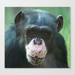 Rosie The Chimpanzee Canvas Print