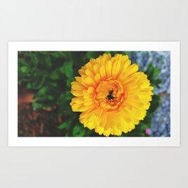 Calendula Officinalis 002 Art Print