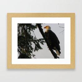 Bald Eagle 14 Framed Art Print