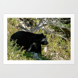 Black Bear On Watch Art Print